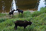 moose, cow, calf, Alces alces, browsing, wetland, wildlife, mammal, ungulate, Colorado River, summer, August, nature, evening, Kawuneeche Valley, Rocky Mountain National Park, Colorado, USA
