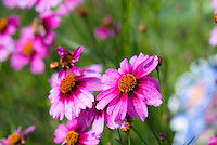 Coreopsis 'Heaven's Gate', pink flowers, one in sharp detail, background blurred