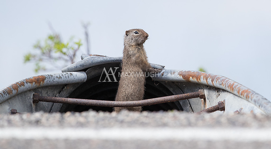 Sometimes, ground squirrels and other rodents will pop right out of the road.