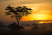 A pair of Lappet-faced vultures took in this Ndutu sunrise.