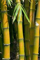 MUS, Mauritius, Bambus | MUS, Mauritius, bamboo