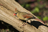 Northern Cardinal (Cardinalis cardinalis) female. Carolinian Forest near Point Pelee National Park. Spring. Lake Erie, Ontario. Canada.