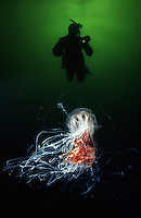 The tentacles of a Lions Mane Jellyfish, Cyanea capillata, can extend as far as 100 feet and deliver a painful sting. British Columbia, Canada. Diver (MR).