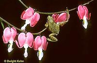 FR16-021a  Spring Peeper Tree Frog - climbing up bleeding heart plant -  Pseudacris crucifer, formerly Hyla crucifer