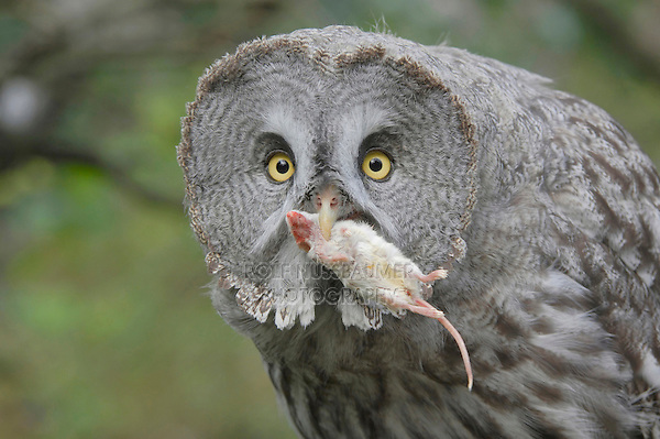 Great Grey Owl (Strix nebulosa), adult with mouse prey captive, Goldau, Switzerland