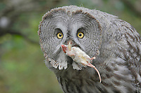 Great Grey Owl (Strix nebulosa), adult with mouse prey captive, Goldau, Switzerland