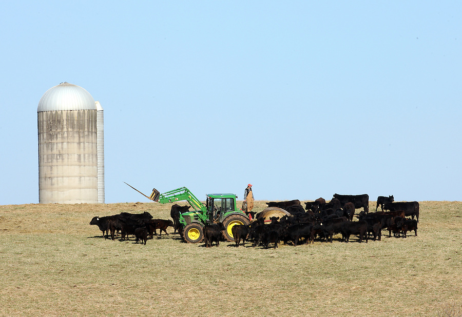 A farmer feeds his cows using a tractor in Orange/Madison County, VA.