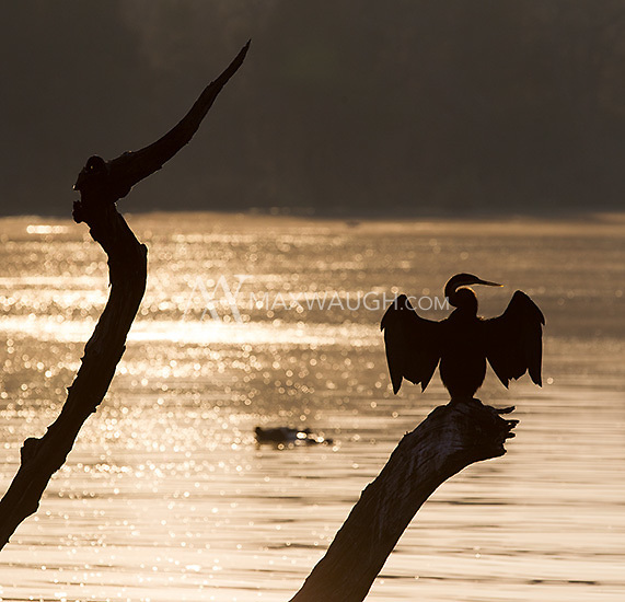 An African darter dries its wings at sunrise.