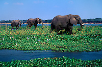 AFRICAN ELEPHANTS (Loxodanta Africana) forage in the shallows of the ZAMBEZI RIVER - ZIMBABWE