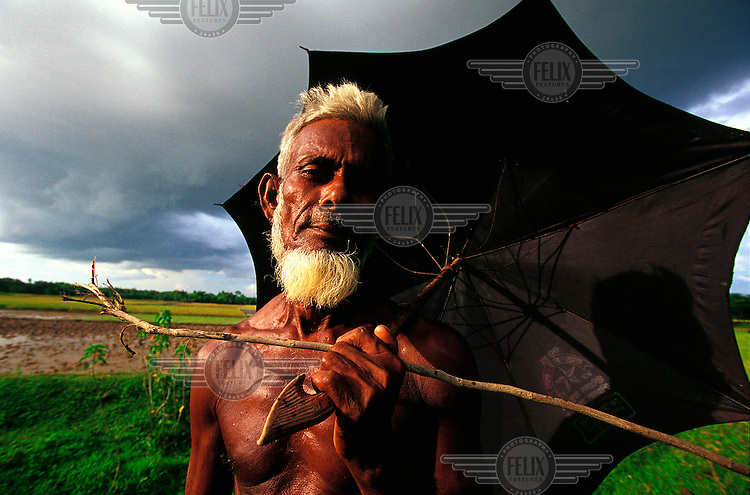 Old man tending  his cattle  grazing the paths between rice fields while summer monsoon storm clouds gather in the distance.