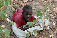 BURKINA FASO , children pick cotton with their families on the smale scale farm / Kinder pfluecken Baumwolle