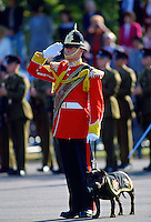 Staffordshire Bull Terrier dog mascot alongside soldier from South Staffordshire Regiment saluting, Shrewsbury, England