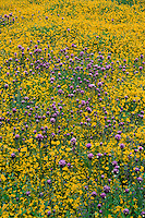 Goldfields and purple owl's-clover<br />