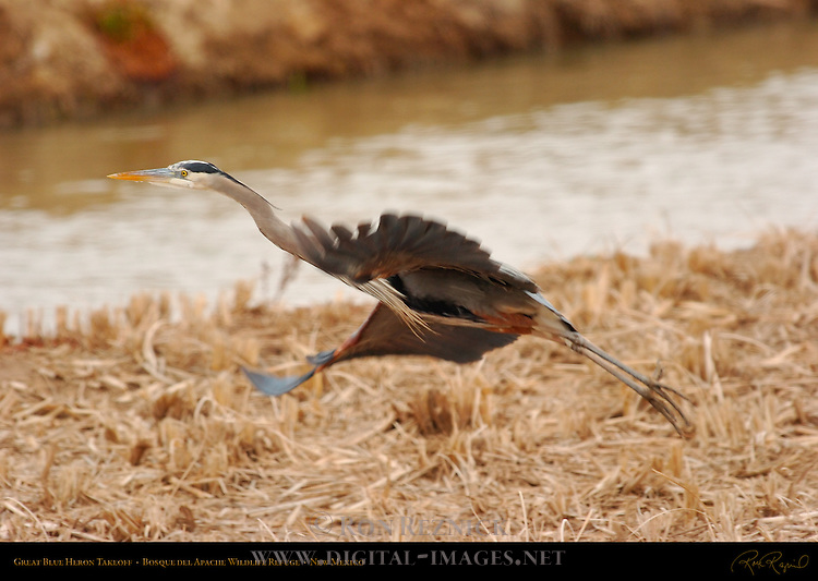 Great Blue Heron Takeoff, Bosque del Apache Wildlife Refuge, New Mexico