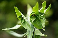 Euphorbia lathyris or Caper spurge
