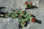 Les fissures des roches calcaires abritent de nombreuses espèces de plantes et de fleurs. ïle d'Inishmore..The limestone fissures conceal a wealth of exotic plants and flowers. Inishmore island
