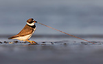 Bird's tug-o-war with a worm by Traci Sepkovic