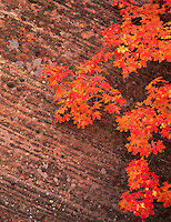 Zion National Park, UT<br /> Autumn branch of a Bigtooth maple (Acer grandidentatum) against a striated Navajo sandstone wall