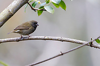 Black-faced Grassquit (Melanospiza bicolor omissa), male foraging in the Maricao State Forest, Maricao, Puerto Rico.