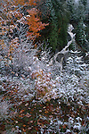 Early snowfall on Fall foliage, Sandy Bay Township, Maine, USA