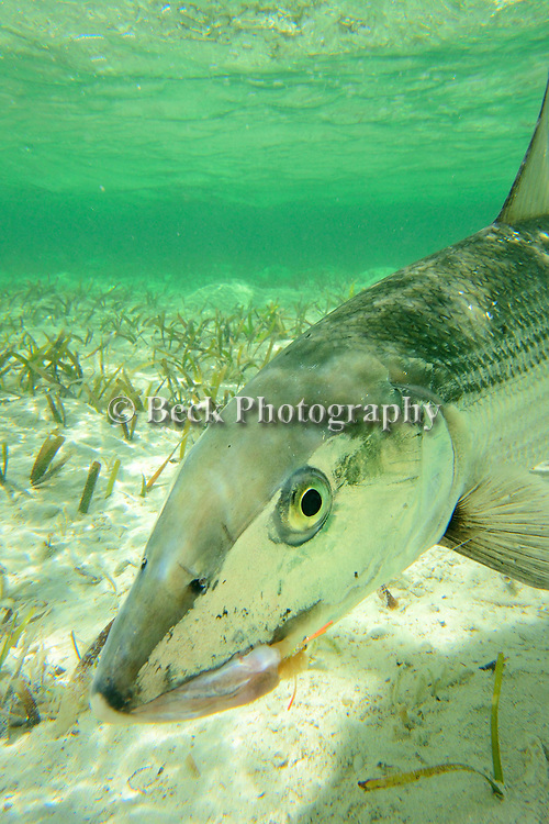 Underwater Bonefish