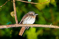 White-whiskered Puffbird, Belize