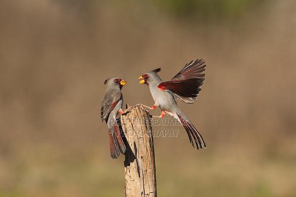 Pyrrhuloxia (Cardinalis sinuatus), males fighting, Starr County, Rio Grande Valley, South Texas, USA