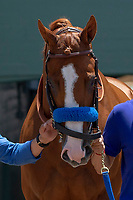 """ARCADIA, CA  JUNE 23: Justify on  """"Justify Day"""" on June 23, 2018 at Santa Anita Park in Arcadia, CA.  (Photo by Casey Phillips/Eclipse Sportswire/Getty Images)"""