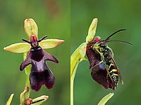 Ragwurz-Zikadenwespe, Ragwurzzikadenwespe, wird durch den Duft der Fliegen-Ragwurz (Ophrys insectifera) angelockt, Argogorytes mystaceus, digger wasp, Sphecidae, Crabronidae