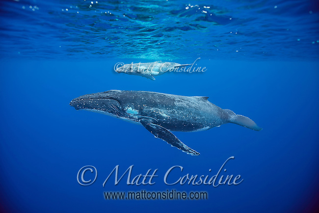 Mother and calf resting on the surface. The calf has unusually light coloring. (Photo by Underwater Photographer Matt Considine)