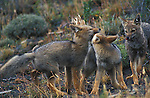 3 Grey Fox cubs play fighting.Torres del Paine NP, Chile