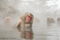Japanese Macaque - Monkeys in the Mist