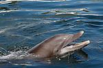 Atlantic Bottlenose Dolphin, Tursiops truncatus, (Captive)