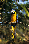 Amazon forest, Brazil. Yellow and blue macaw perched on a branch; Arara-canindé (Ara ararauna).