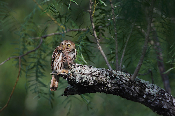 Ferruginous Pygmy-Owl, Glaucidium brasilianum, adult with lizard prey, Willacy County, Rio Grande Valley, Texas, USA, May 2007
