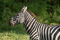 Grant's Zebra, Equus quagga boehmi, in Lake Nakuru National Park, Kenya