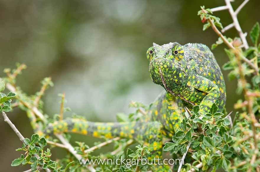 Adult Flap-necked Chameleon (Chameleo dilepis). Ndutu Safari Lodge, Ngorongoro Conservation Area, Tanzania.