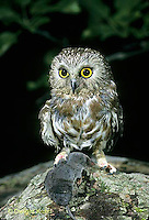 OW04-004b   Saw-whet owl - with shrew prey - Aegolius acadicus