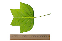 Amerikanischer Tulpenbaum, Tulpen-Baum, Magnolie, Liriodendron tulipifera, Canary Whitewood, Tulip Polar, Tulip Tree, Le tulipier de Virginie, arbre aux lis. Blatt, Blätter, leaf, leaves