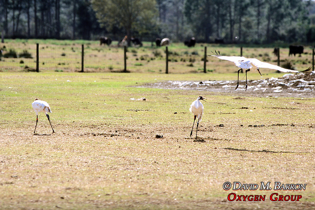 Whooping Cranes With Radio Transmitters