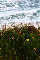 Going towards east on the coastal road from Taranto, along the Ionio sea, after passing through Marina di Lizzano: a particular of the vegetation in a point where there are dunes that dominate the beach. The yellow daisies in foreground are enhanced by the dark green grass, and they make a suggestive contrast against the background of the quite high waves that are breaking near to the shore.