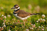 Killdeer (Charadrius vociferus) juvenile struts through clover field, spring, Ottawa NWR, Ohio, U.S.A.