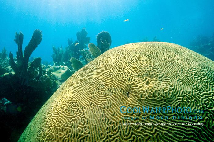 knobby brain coral, Diploria clivosa, .Minnow Caves, Key Largo, Florida Keys .National Marine Sanctuary (Atlantic).