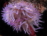 Purple Anemone, Underwater Marine life;