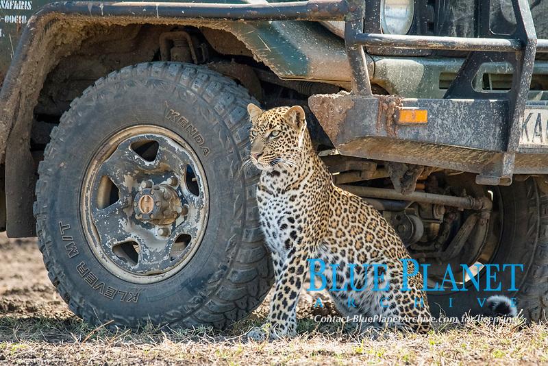 African leopard, Panthera pardus pardus, resting in the shade of a safari car, Masai Mara, Kenya, Africa