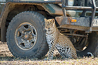 African leopard, Panthera pardus pardus, resting in the shade of a safari car, Masai Mara, Kenya, Africa
