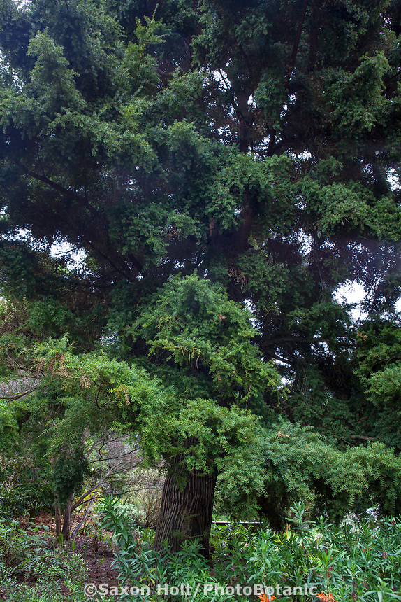 Podocarpus totara - Totara,  Evergreen conifer tree from New Zealand in San Francisco Botanical Garden