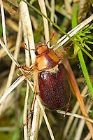 Brachkäfer, Junikäfer, Rhizotrogus maculicollis, June bug