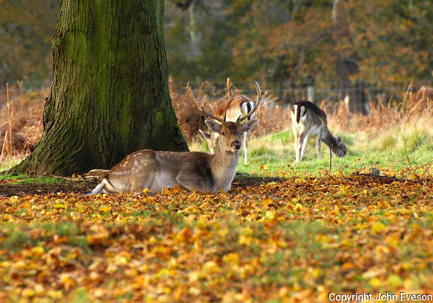 Fallow deer, Dunham Massey.