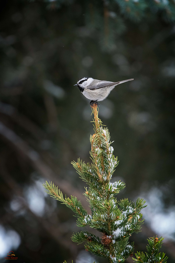 Tiny Mountain Chickadee (Poecile gambeli) balances at the top of a pine tree. These little guys typically don't stay in one place or stay still very long, so we were fortunate to catch this one in a relatively stationary pose.